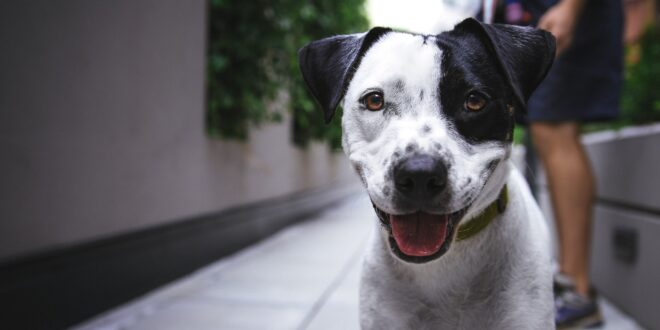 white and black American pit bull terrier at daytime photo